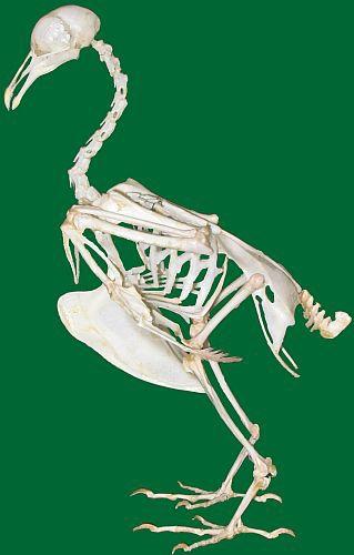Dinde-squelette.jpg